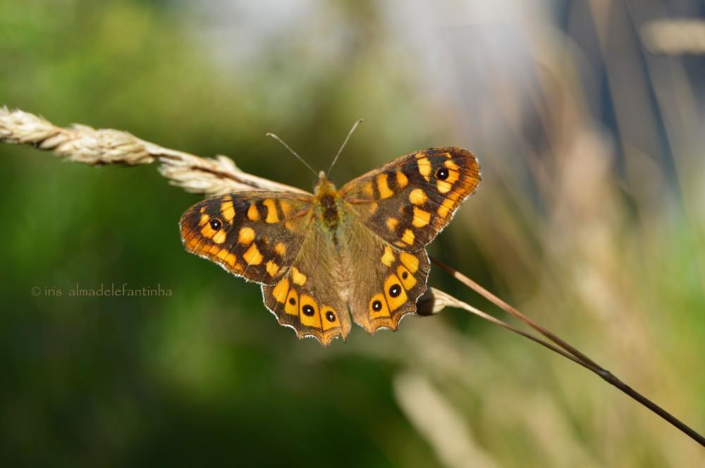 tirán mariposa moaña