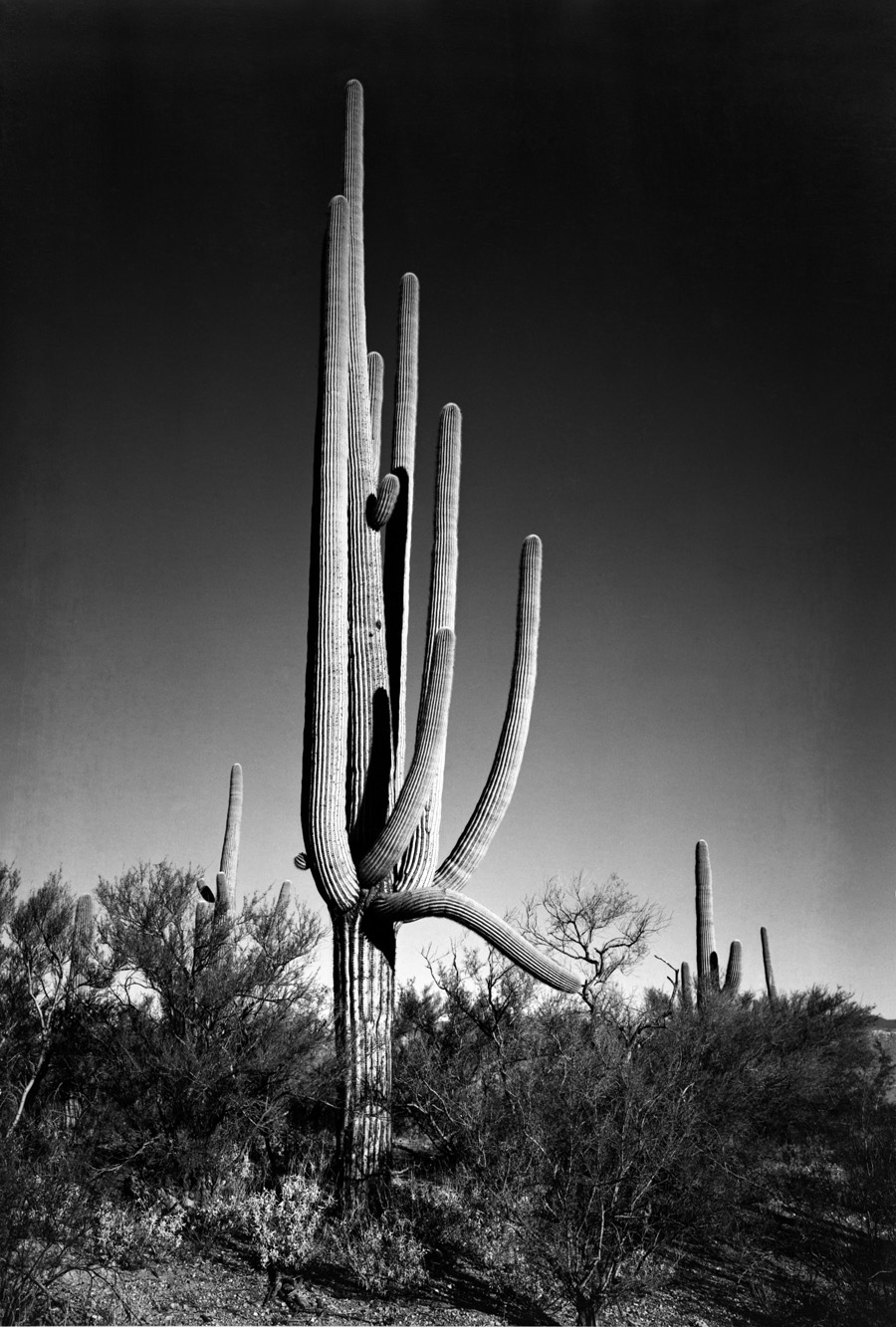 ansel-adams-cactus